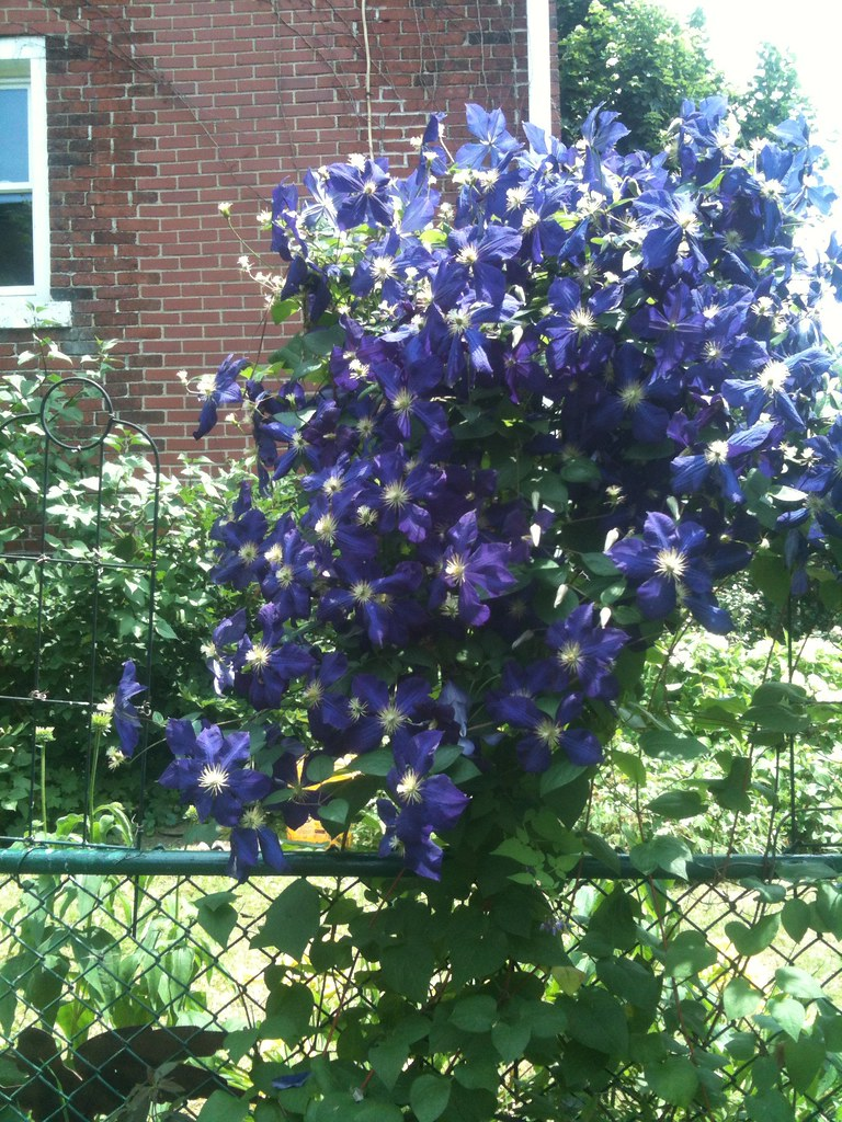 I Believe This Is An Indigo Sapphire Clematis Like Mine