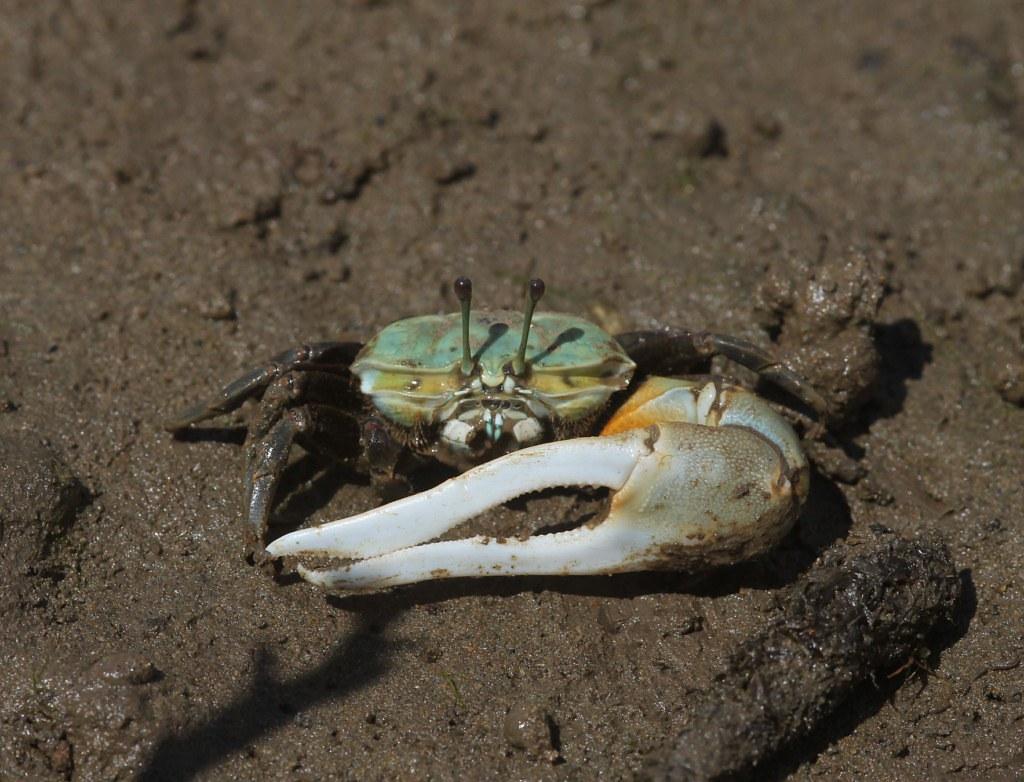 Homework help fiddler crab