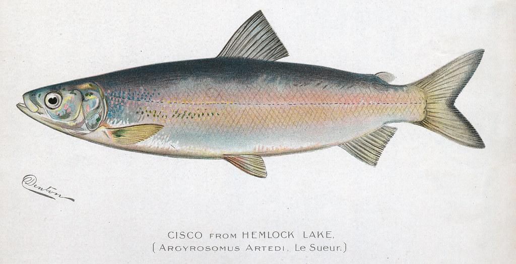 Cisco cisco fish nys dec flickr for Nys dec fishing