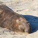 Male Northern Elephant Seal (Mirounga angustirostris)