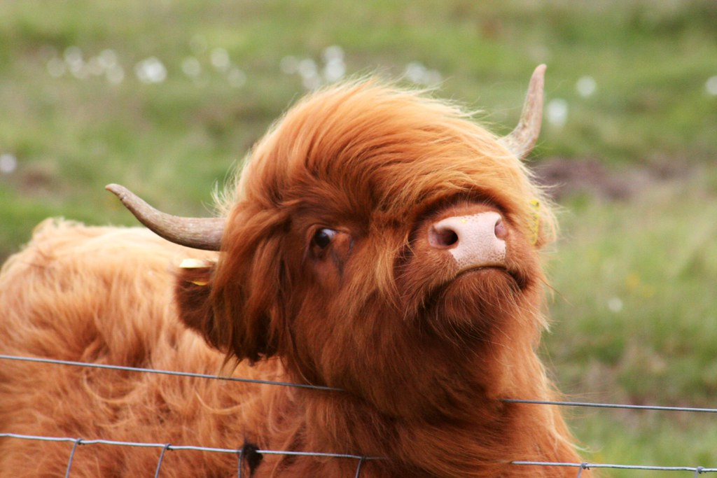 Fluffy Coo A Fluffy Heilan 39 Coo With Very Stylish Hair