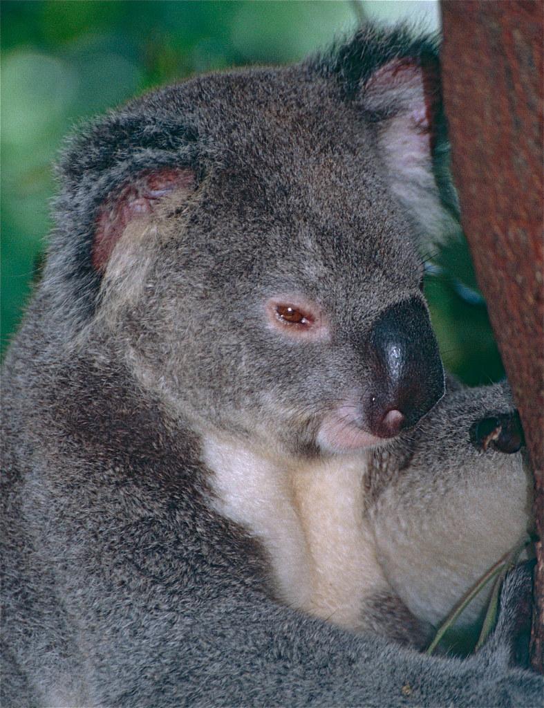 Amazing Facts about Koalas  OneKindPlanet Animal