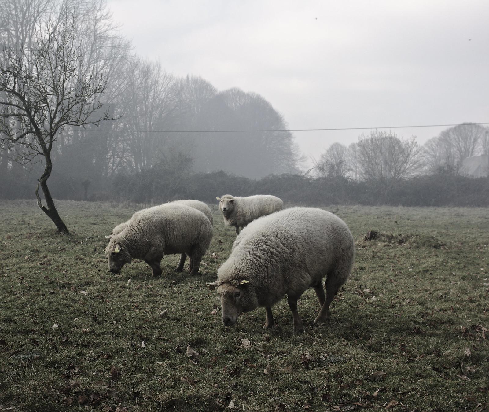 Smoked sheep   by stanzebla