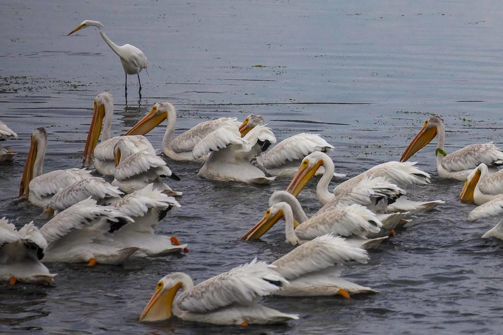 Fishing white pelicans and great egret bodega bay tom for Bodega bay fishing reports