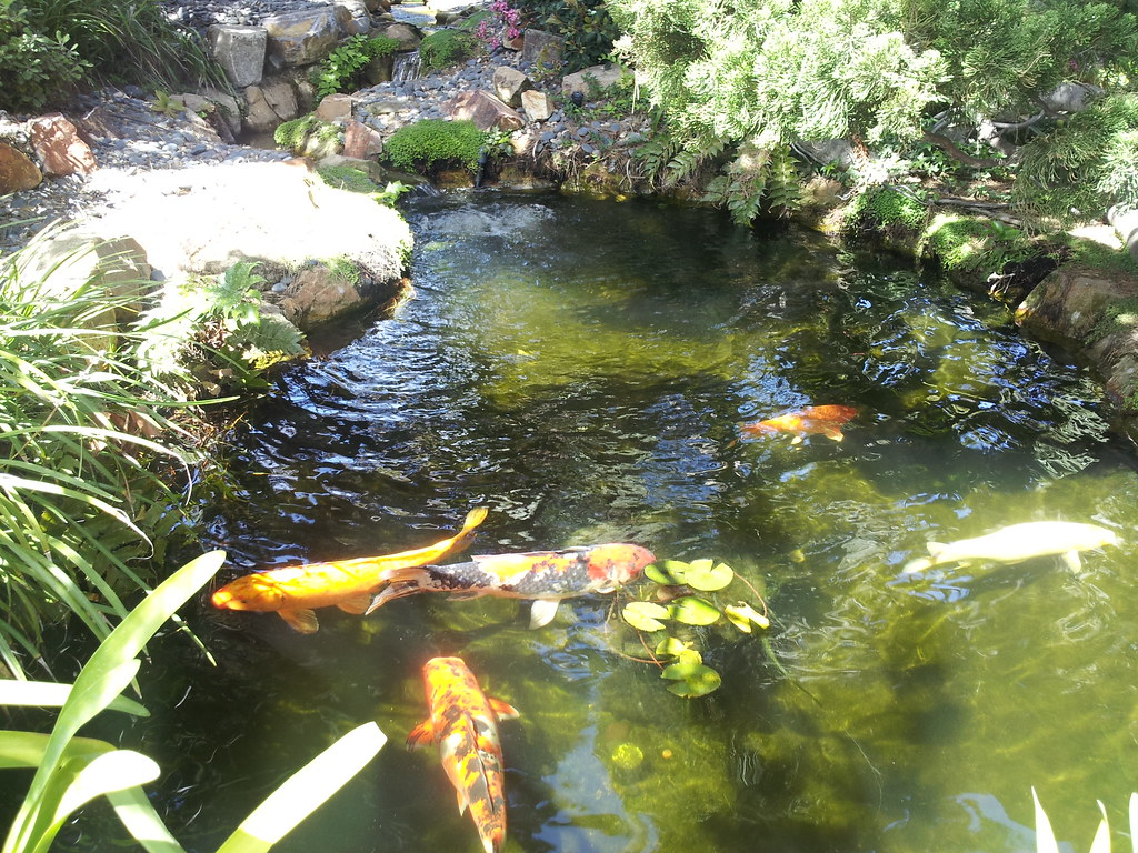 Koi Pond Koi Pond At Meditation Gardens In Encinitas Ca