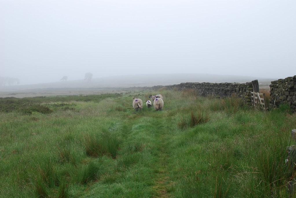 undocked sheep tail yorkshire