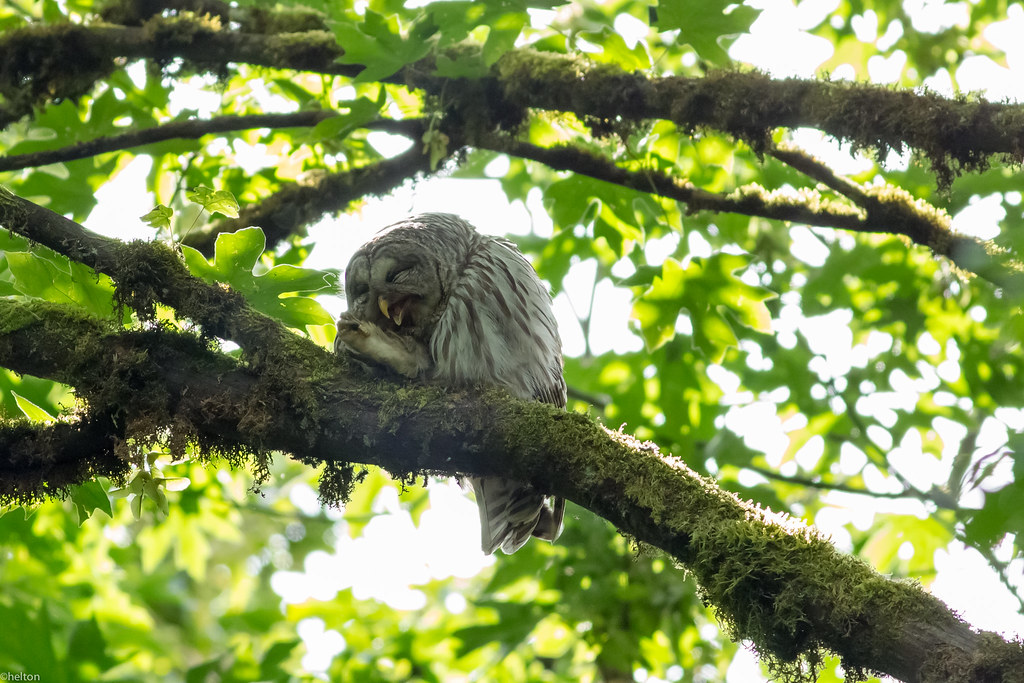 Barred Owl | Cleaning its talons or... laughing ...