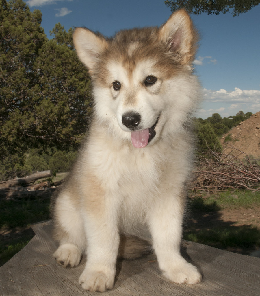 Wolf Dog Puppies For Sale In England