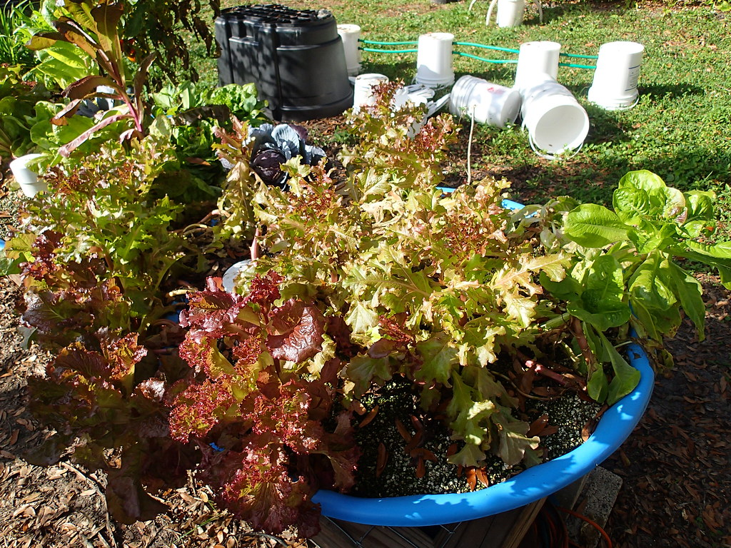 lettuce, tomato, habs | Square foot hydroponic gardens are s… | Flickr