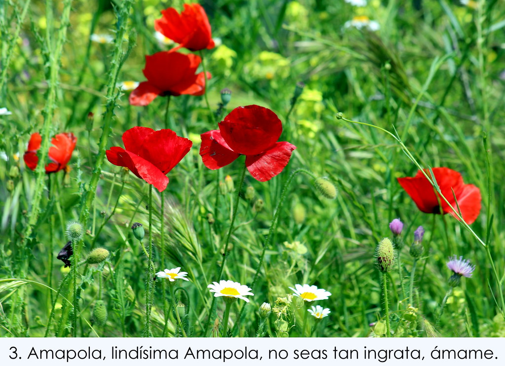 Plácido Domingo:Amapola Lyrics | LyricWiki | FANDOM ...