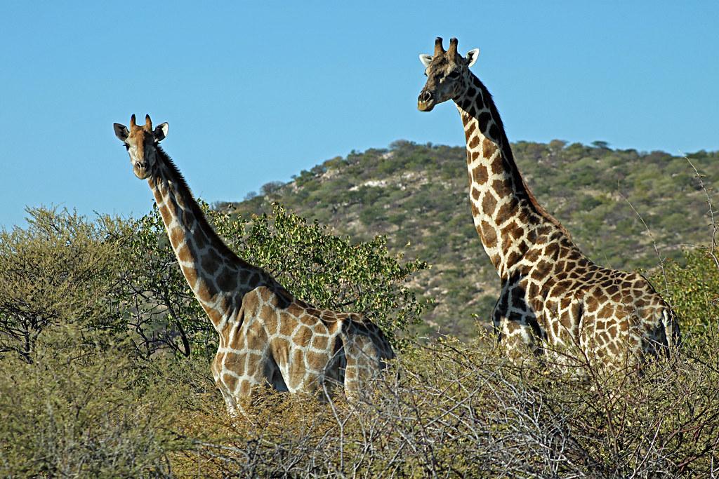 Namibian giraffe: Giraffa camelopardalis angolensis. | Flickr