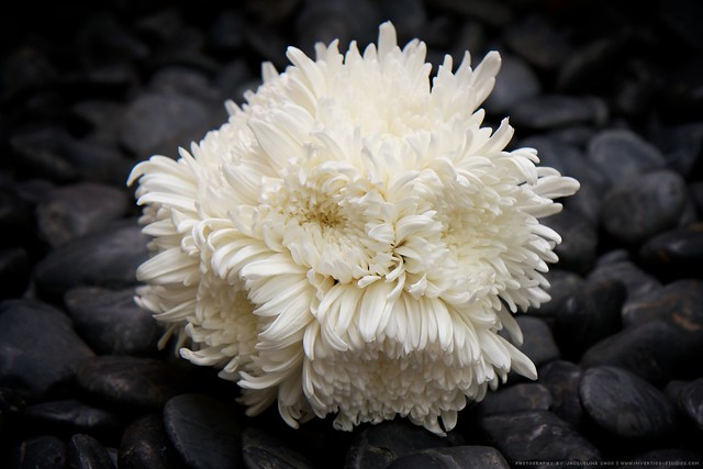 White Chrysanthemum Bouquet | Flickr - Photo Sharing!