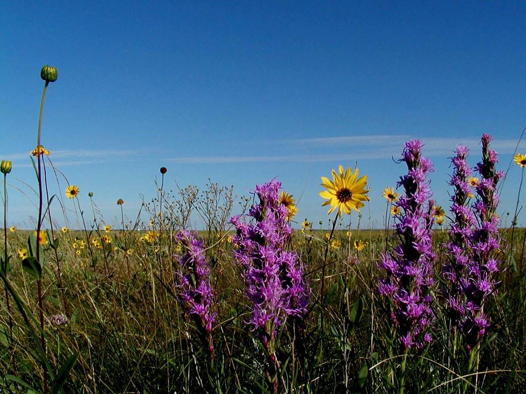 Prairie flowers (liatrus or blazing star and wild sunflowe… | Flickr