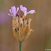Petrorragia-do-nanteil // Proliferous Pink (Petrorhagia nanteuilii)
