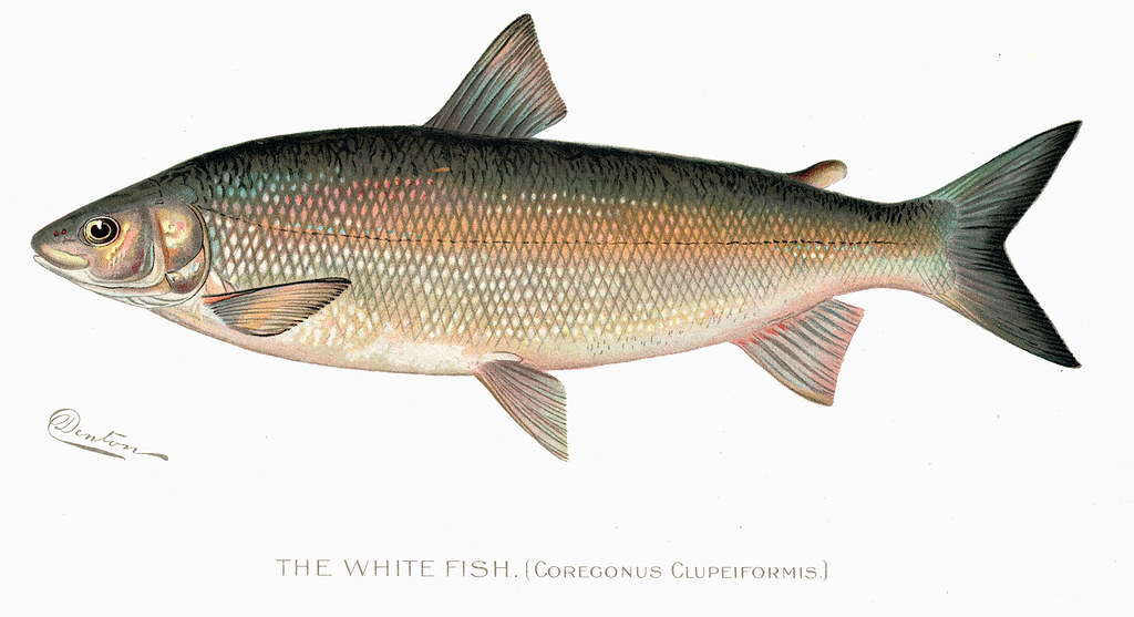 Whitefish fish white fish nys dec flickr for Nys dec fishing