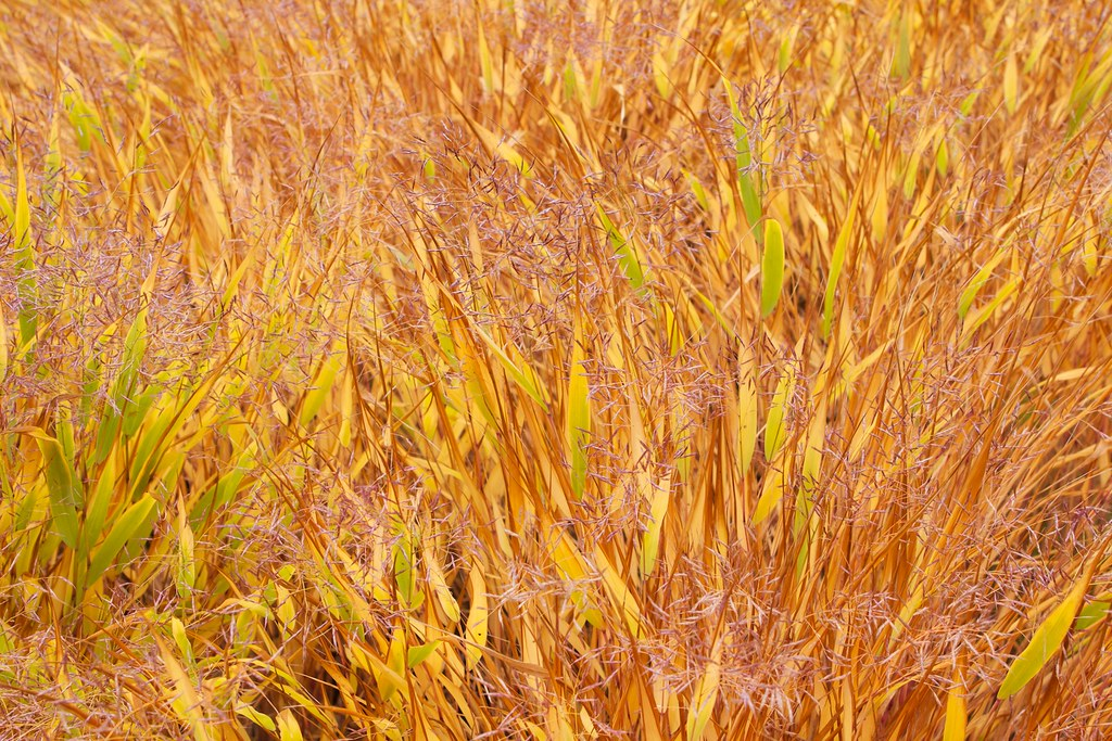 Yellow and Orange Grass   Ian Page-Echols   Flickr