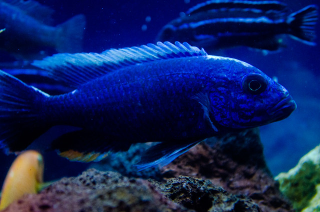 electric blue african cichlid - photo #39