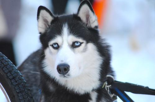 Russian Dog2
