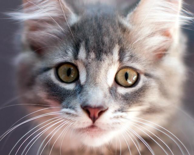 Good Kitten Food For Ferrets