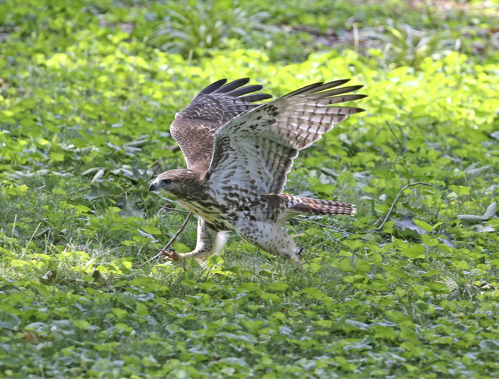 Hawk playing in the grass