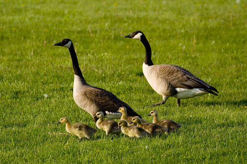Geese, with babies!