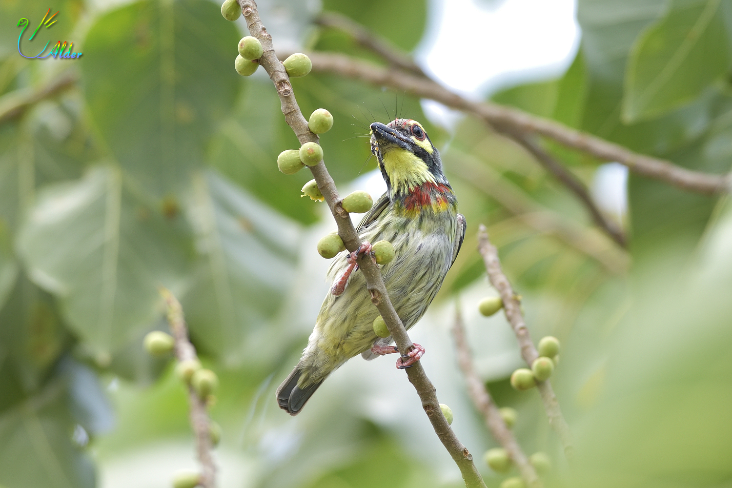 Coppersmith_Barbet_6776