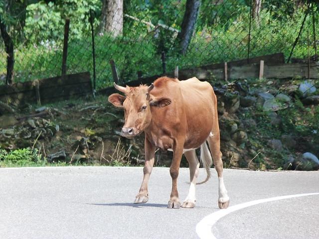 Vaca en una carretera de Georgia