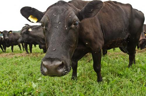 Cattle like these graze Mrs. Cummings property in Portal, Georgia
