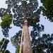 """Yellow Seraya tree, the """"Sepilok Giant"""""""
