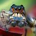 Phidippus putnami - Male Jumping Spider - Oklahoma