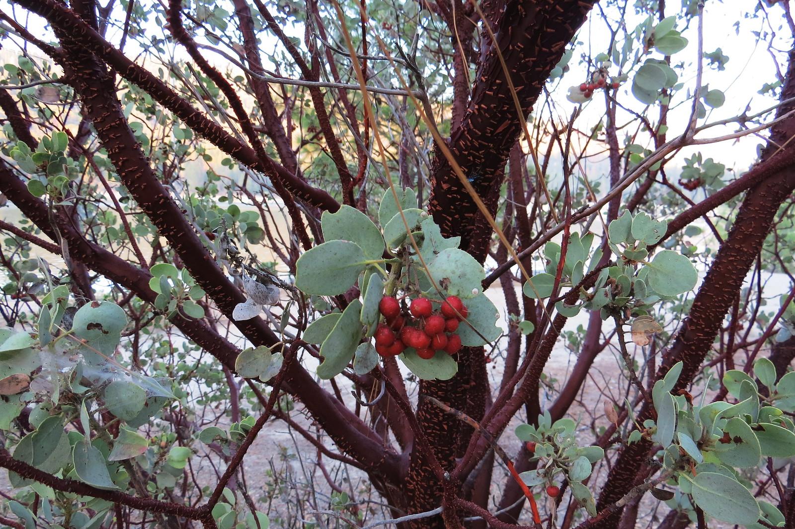 Manzanita Tree, Sierra, CA
