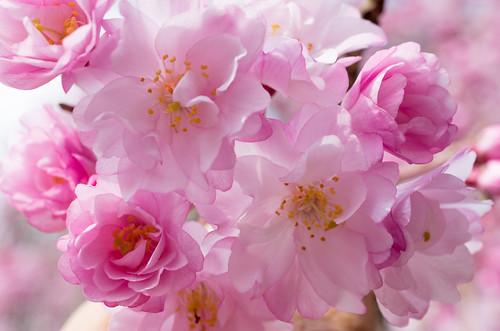 枝垂桜 2