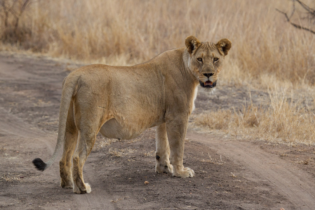 Very Pregnant Lioness ...