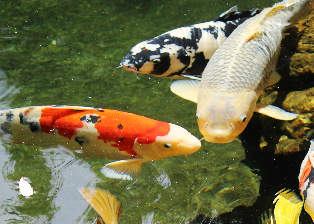 Koi pond japanese friendship garden japanese for Japanese friendship garden san jose koi fish