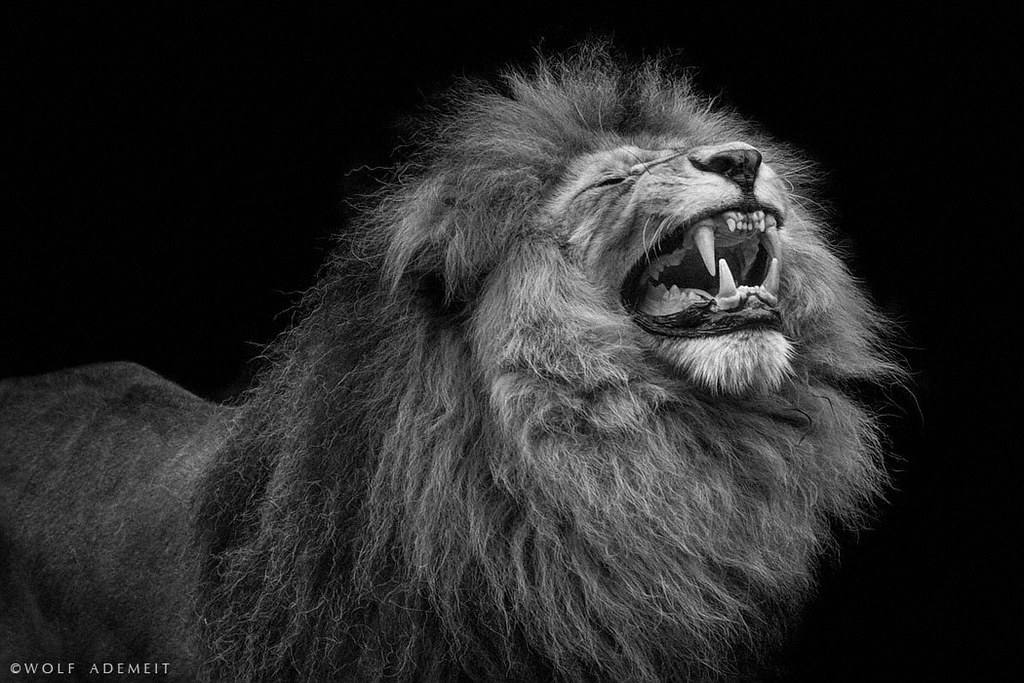 Black And White Lion Face Roar