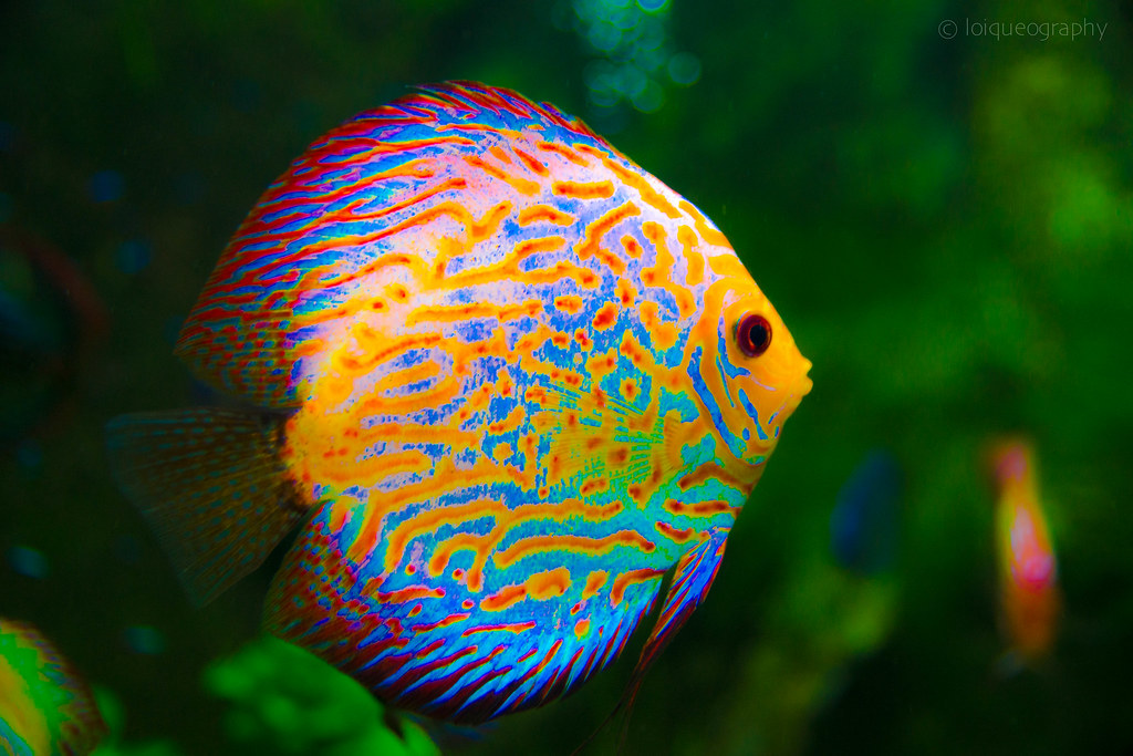 poisson color 233 lo 239 c jouan flickr