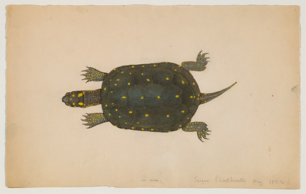 Turtle (<b>top</b> view) (May 1852) | 1 turtle drawing (9 x 17 cm ...