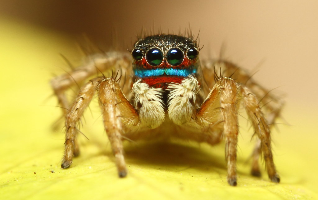 Colorful jumping spider - photo#16