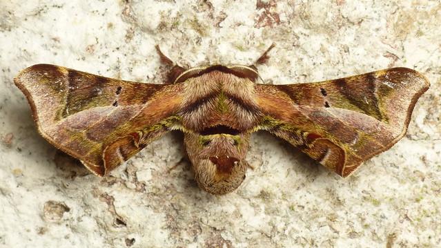 American Silkworm Moth