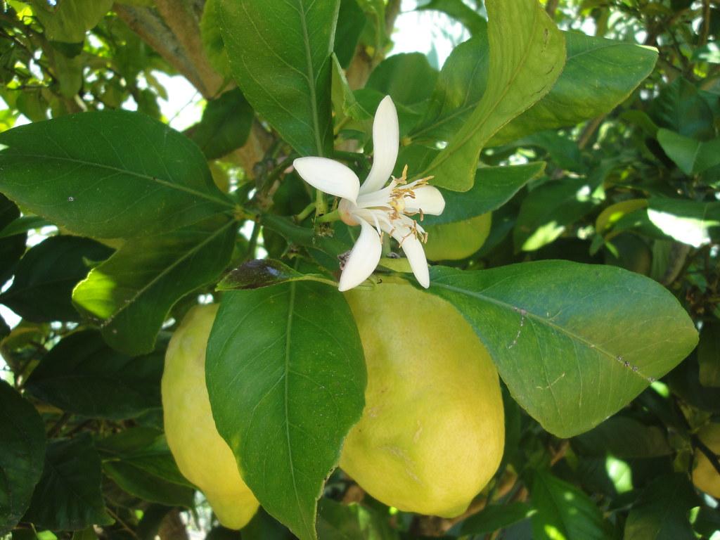 Flor de azahar en el limonero de mi jard n feliz - Limonero en maceta ...