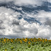 sunflower HDR - Landscape