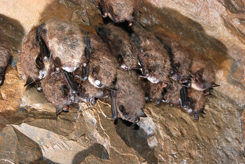 Little Brown bats found in Maine with white-nose syndrome