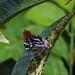 Guianan streaked antwren (Myrmotherula surinamensis)  Mahdia Guyana jan2015a