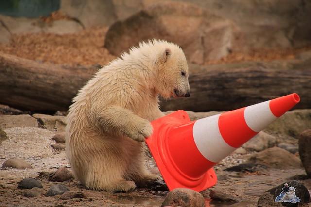 Eisbär Lili im Zoo am Meer 15.05.2016  25