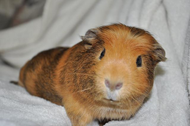 Crested guinea pig - photo#37