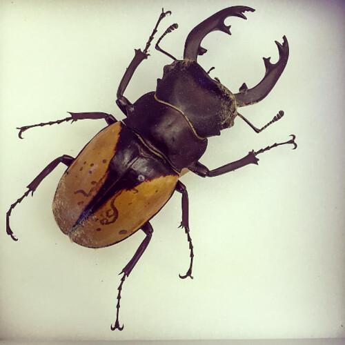 Image of an Odontolabis delesserti specimen.