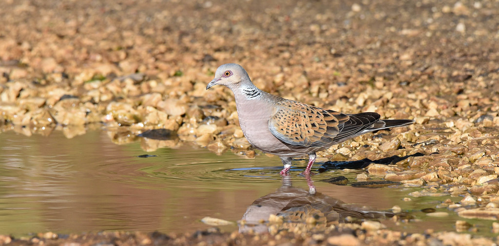 Rola Brava | Streptopelia turtur | European Turtle Dove