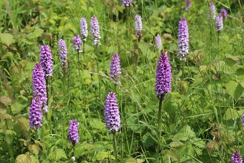 Kentish seaside orchids