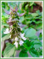Flowering Ocimum basilicum (Thai Basil, Anise Basil, Licorice/Cinnamon Basil), 13 Aug. 2015
