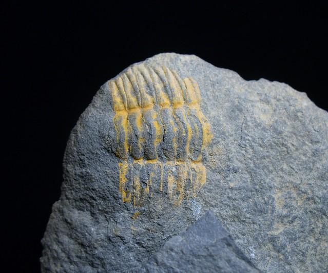 Trilobite - thorax (positive)